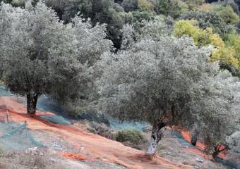 ulivi-ulivo-italia