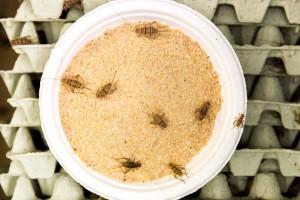 mangiare-insetti-entomofagia