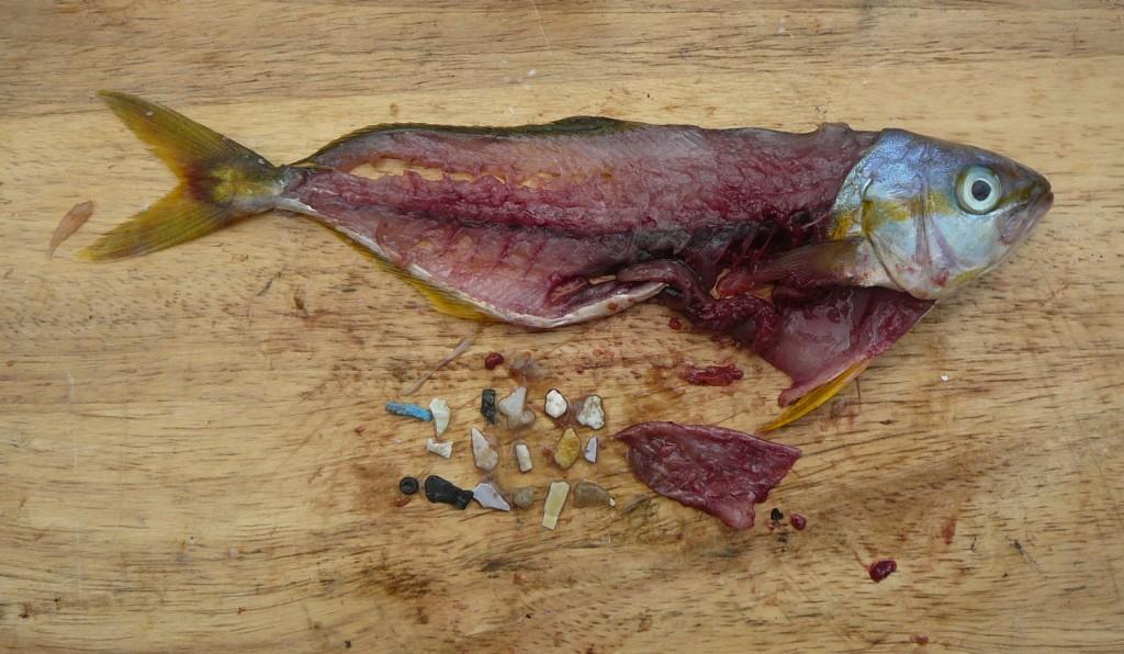 microplastiche nei pesci