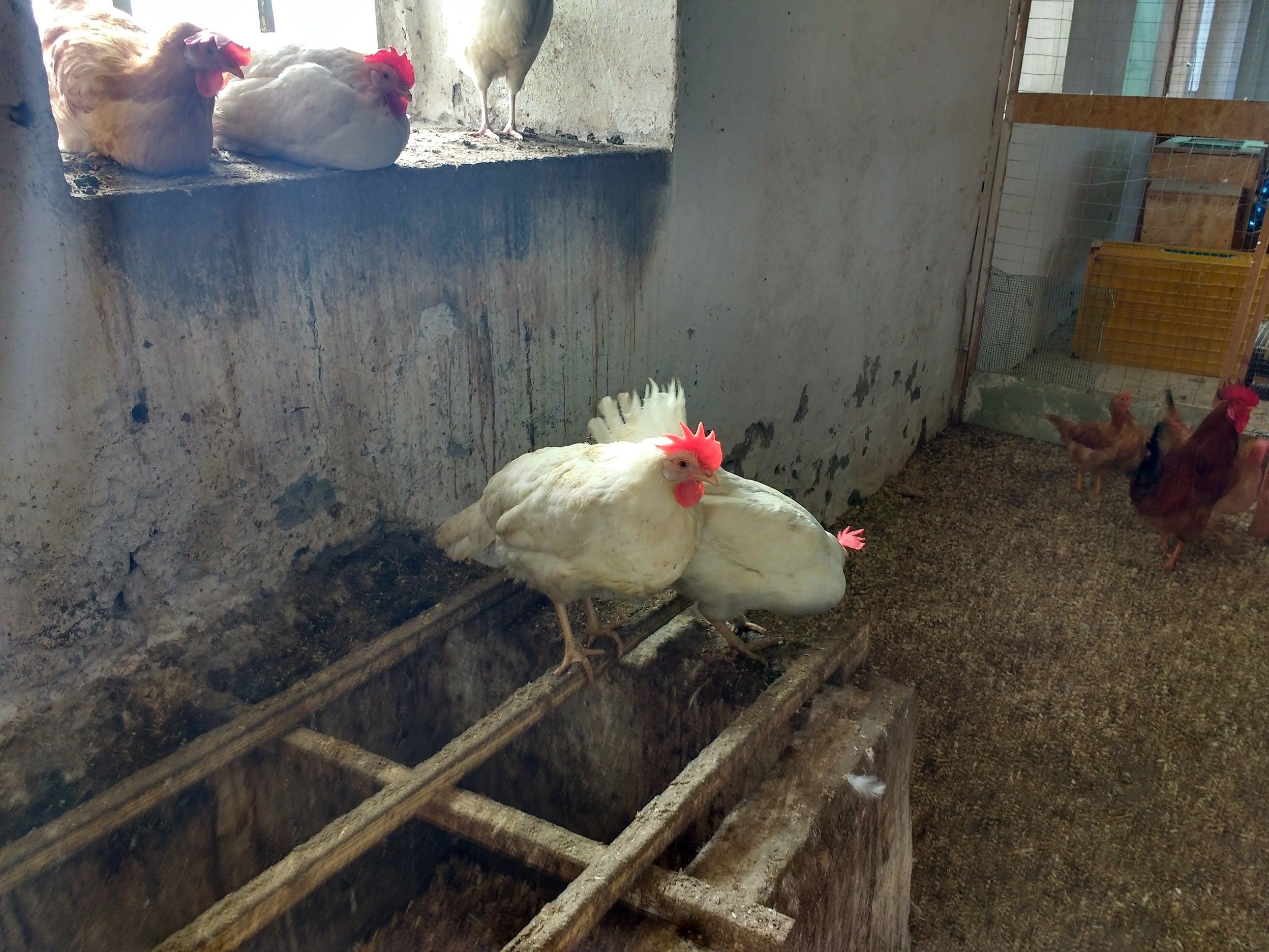cascina losetta galline