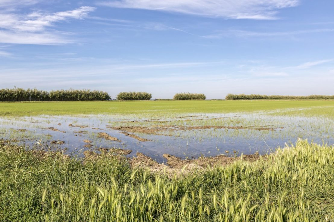 riso biologico
