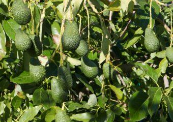 avocado sicilia