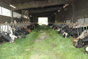 Vacche nelle stalle
