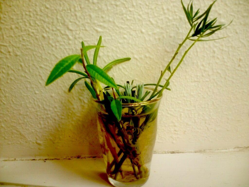 talea nel vaso