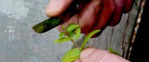 pianta viene potata