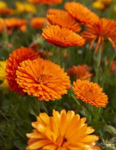 calendula in fiore