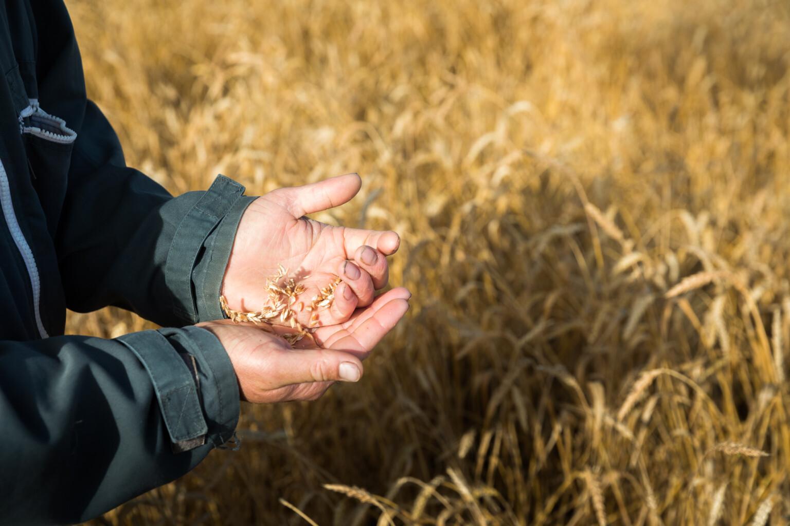 grano-tipi-di-farina
